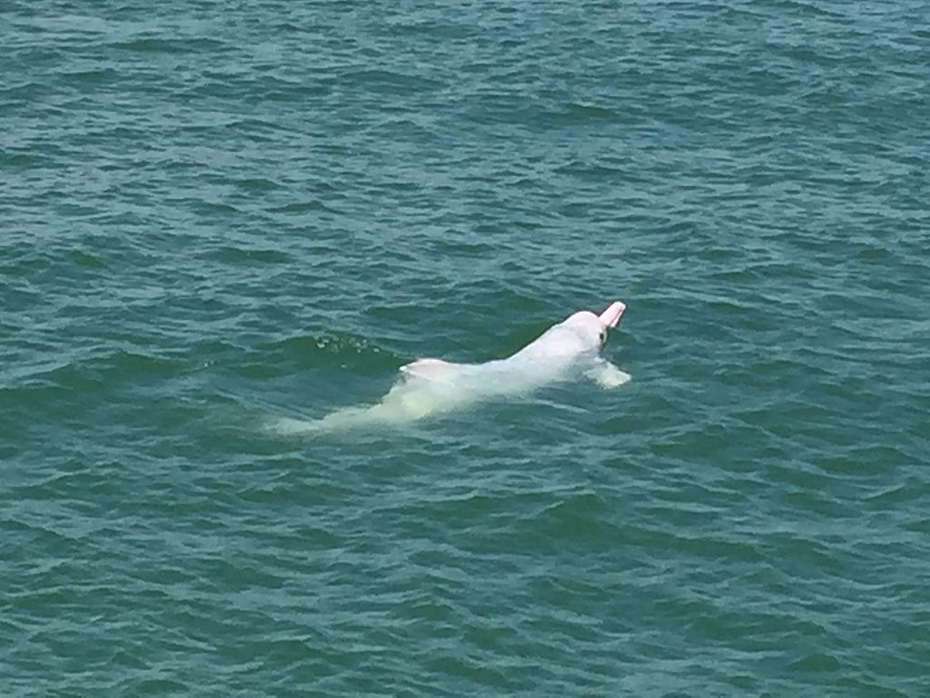 1024px-Chinese_white_dolphin