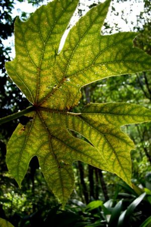 """""""We found that at current atmospheric CO2 concentrations, darker leaves will evaporate more water,."""" (Credit: Northern Arizona University)"""