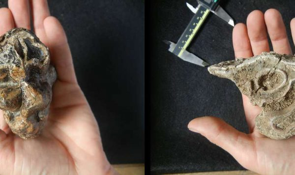 A fossil tooth of a hippo (Hippopotamus amphibius) (left) and a fossil tooth of a white rhinoceros (Ceratotherium simum) (right) , two of the few surviving megaherbivores, from the Late Pleistocene of western Kenya (left). (Image: J. Tyler Faith)
