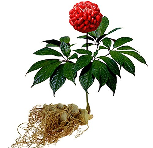 In China, the flower buds of the Panax notoginseng plant are used for tea. (Image: wikimedia / CC0 1.0)