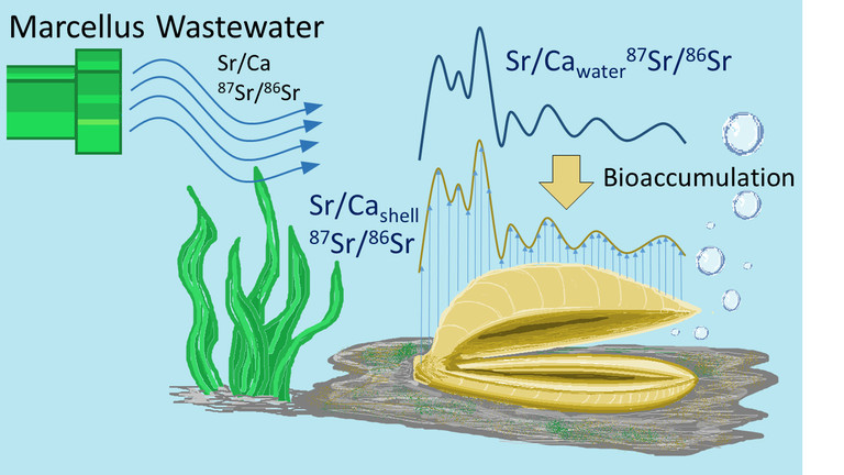 Illustration showing how strontium bioaccumulates in freshwater mussels. (IMAGE: THOMAS GEEZA / PENN STATE)