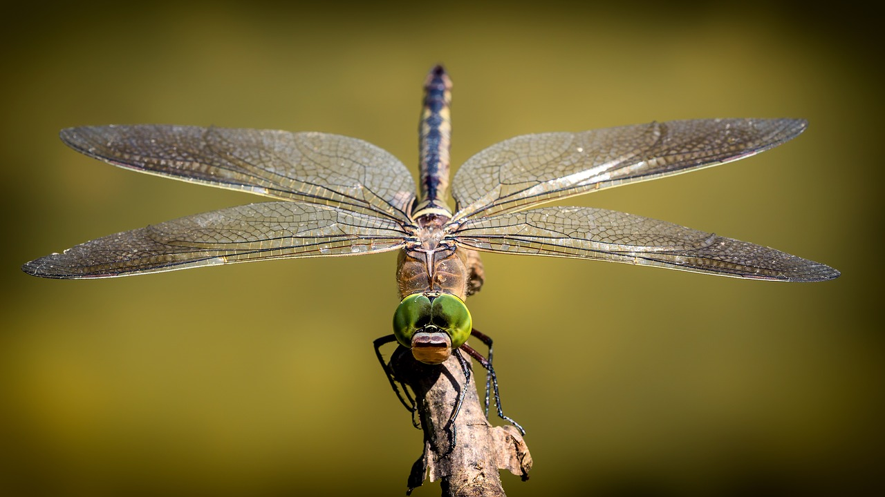 dragonfly-3456317_1280