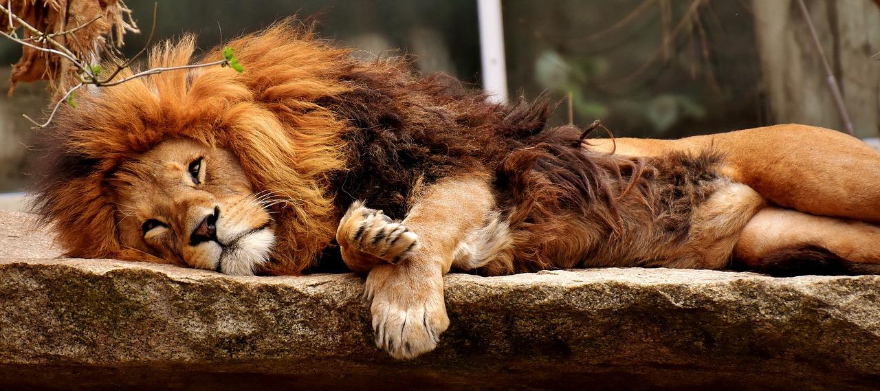 lion-3317566_1280