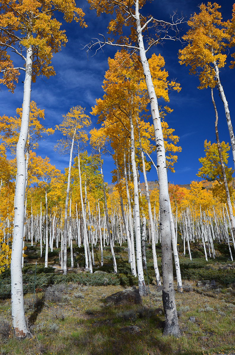 While the Pando has lived on for centuries without facing any significant threats, the grove is currently under risk of extinction. (Image: U.S. Forest Service)