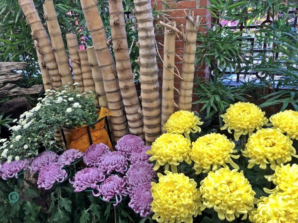The Chrysanthemum Show allows visitors to have a new visual experience. (Image: Julia Fu / Vision Times)