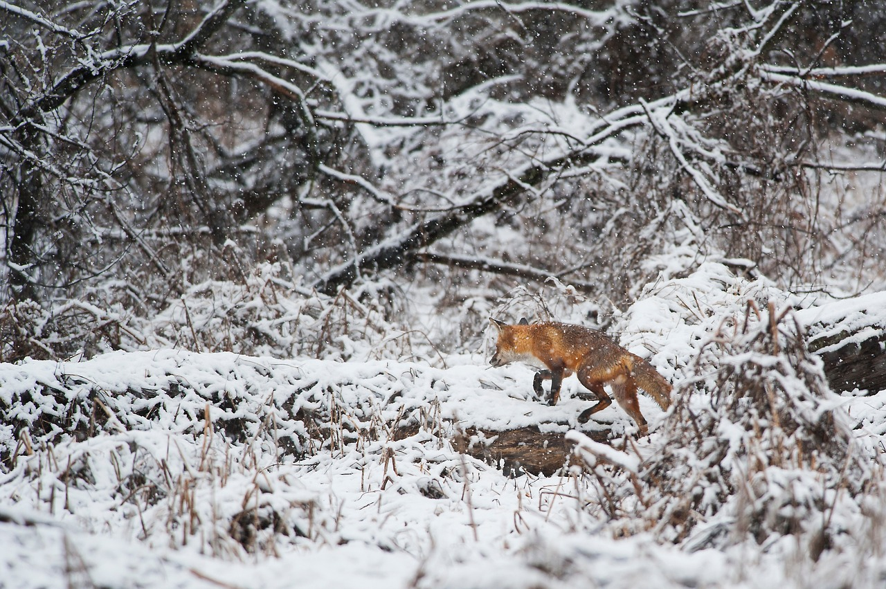 Foxes are often seen hunting and scavenging, as food is scarcer in the winter. (Image: pixabay / CC0 1.0)