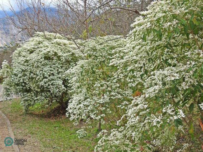 There are about 300 Euphorbia leucocephala (細雪聖誕、白雪木) trees in the Liou Plum Farm. (Image: Billy Shyu / Nspirement)