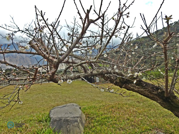 For Taiwanese, plum blossom symbolizes the spirit of resilience in the face of adversity. (Image: Billy shyu / Vision Times)