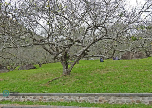 Some of the plum trees in the Liou Plum Farm (枊家梅園) were planted decades ago. (Image: Billy Shyu / Vision Times)