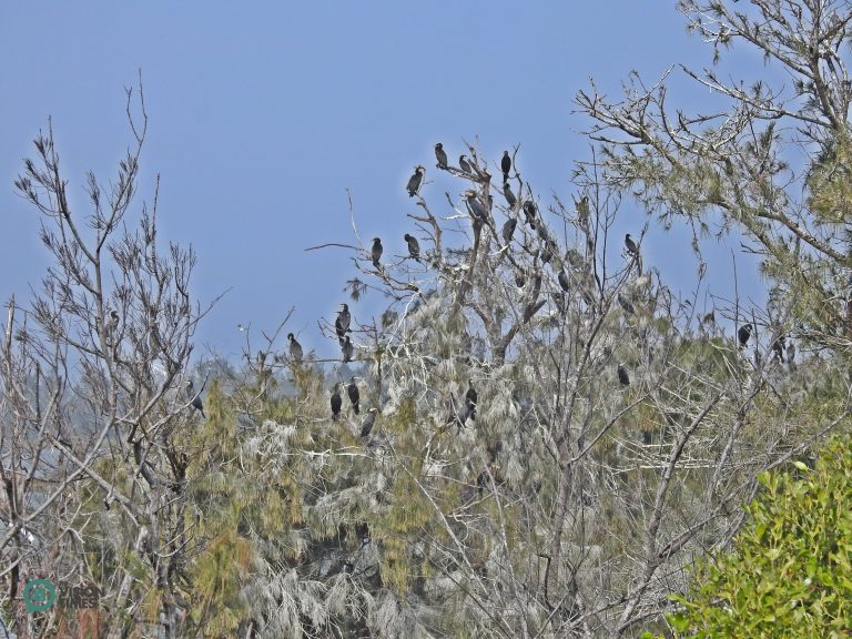 There are so many Great Cormorants in Aogu Wetland that the leaves of many Beef Wood are covered with their droppings. (Image: Billy Shyu / Nspirement)
