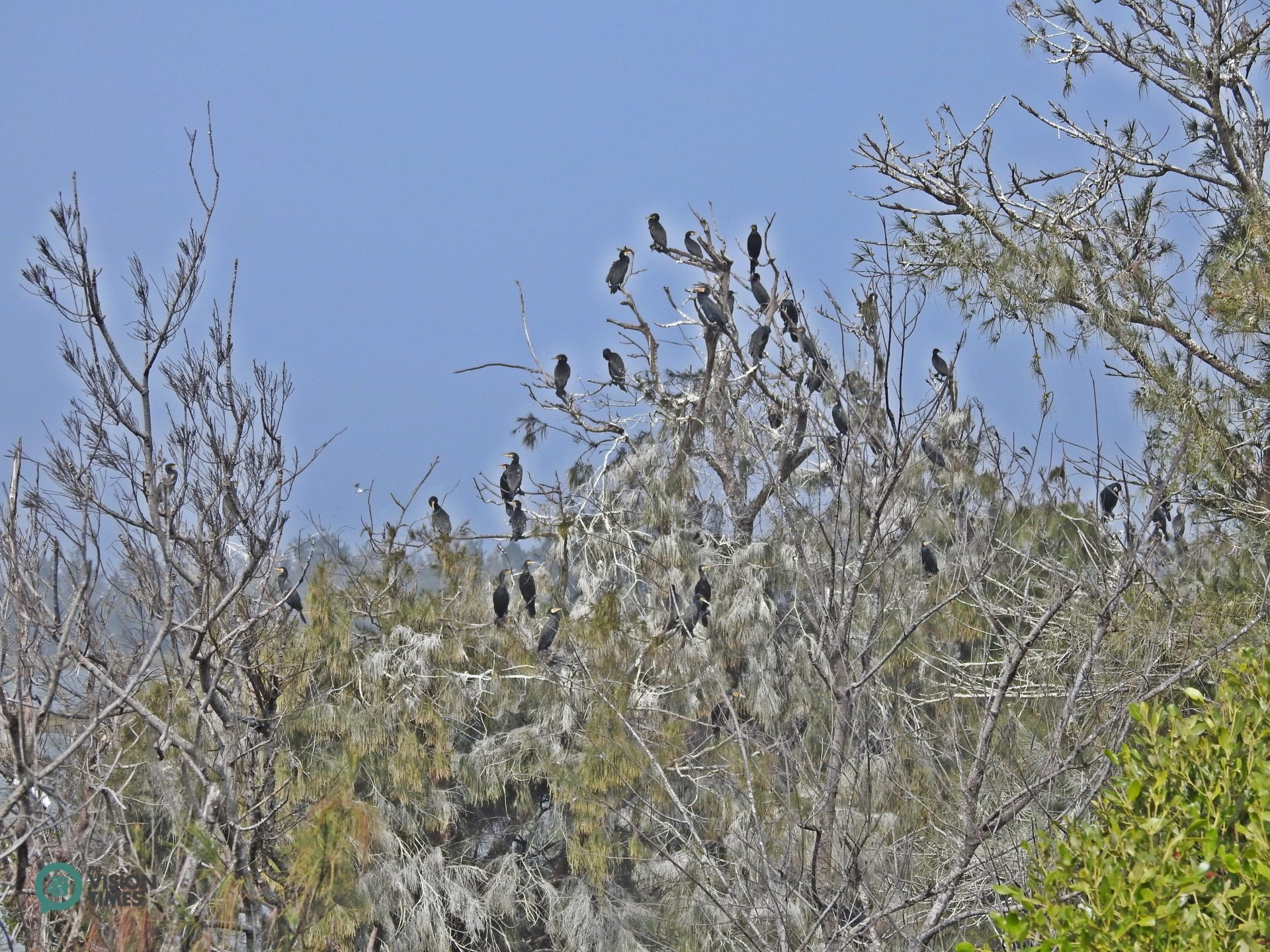 There are so many Great Cormorants in Aogu Wetland that the leaves of many Beef Wood are covered with their droppings. (Image: Billy Shyu / Vision Times)