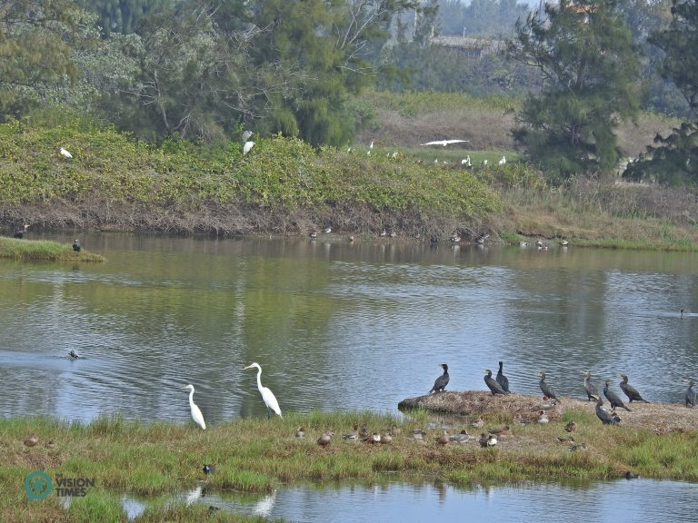 Visitors can spot many Great Cormorants (鸕鶿), Ardea alba (大白鷺) and other migratory birds at the Aogu Wetland. (Image: Billy Shyu / Nspirement)