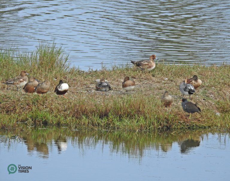The Eurasian Wigeon (赤頸鴨) and Common Moorhen (紅冠水雞) in the Aogu Wetland. (Image: Billy Shyu / Nspirement)