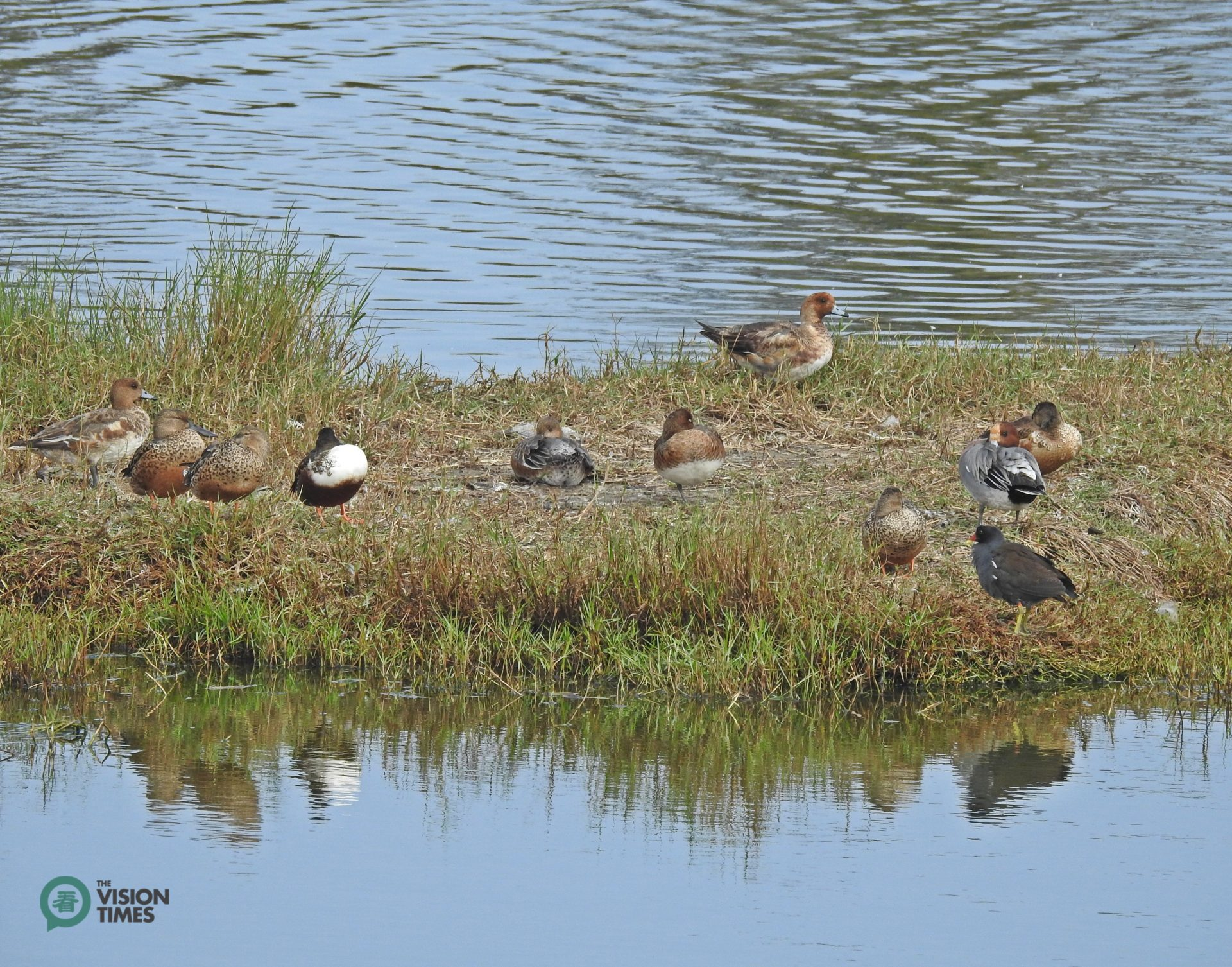 The Eurasian Wigeon (赤頸鴨) and Common Moorhen (紅冠水雞) in the Aogu Wetland. (Image: Billy Shyu / Vision Times)