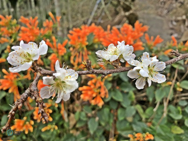 Plum blossom is the national flower of the Republic of China (Taiwan) and the county flower of Nantou County in central Taiwan. (Image: Billy Shyu / Vision Times)
