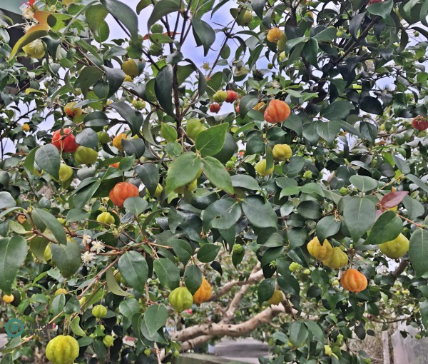 A beautiful Eugenia uniflora tree (紅果仔) at the Liou Plum Farm in Xinyi Township. (Image: Billy Shyu / Vision Times)
