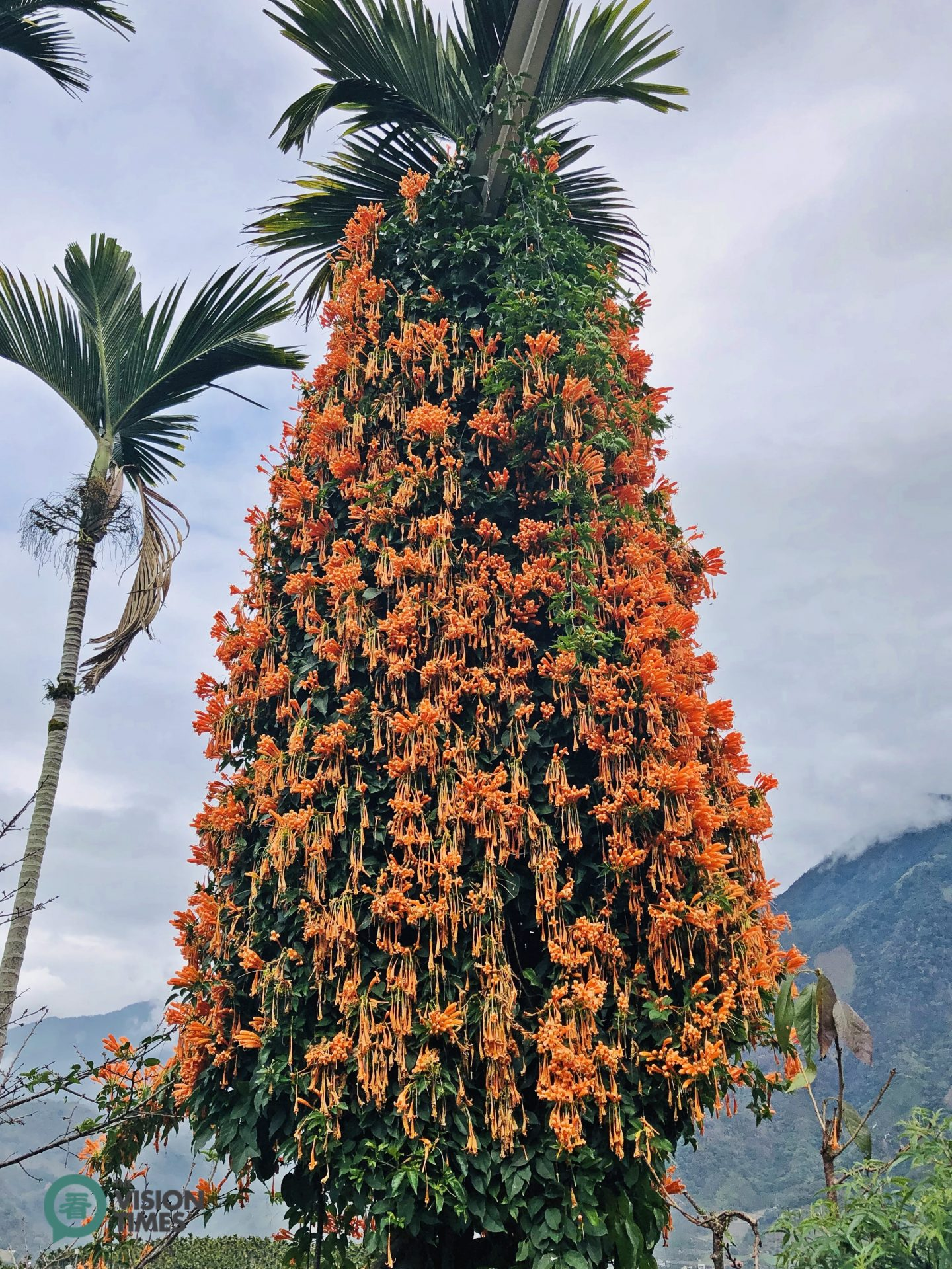 The beautiful Pyrostegia Venusta (炮仗花) is well growing around a betel nut (Areca catechu) tree. (Image: Julia Fu / Vision Times)