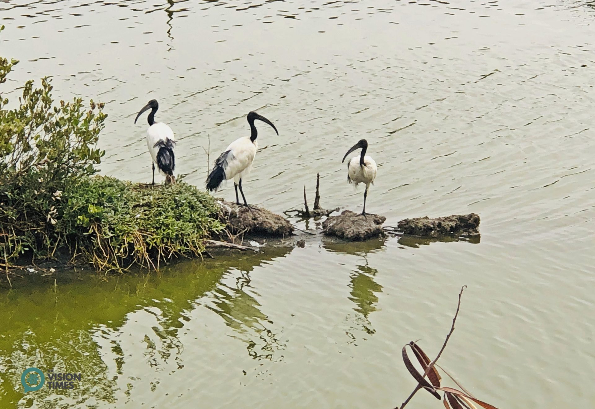 Visitors can spot many Sacred Ibis (埃及聖䴉 Threskiomis aethiopicus) in Aogu Wetland. (Image: Billy Shyu / Vision Times)