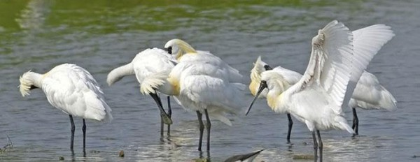Many of the endangeredblack-faced spoonbills can be sighted in Aogu Wetland in winter, (Image: Cultural and Tourism Bureau of Chiayi County)