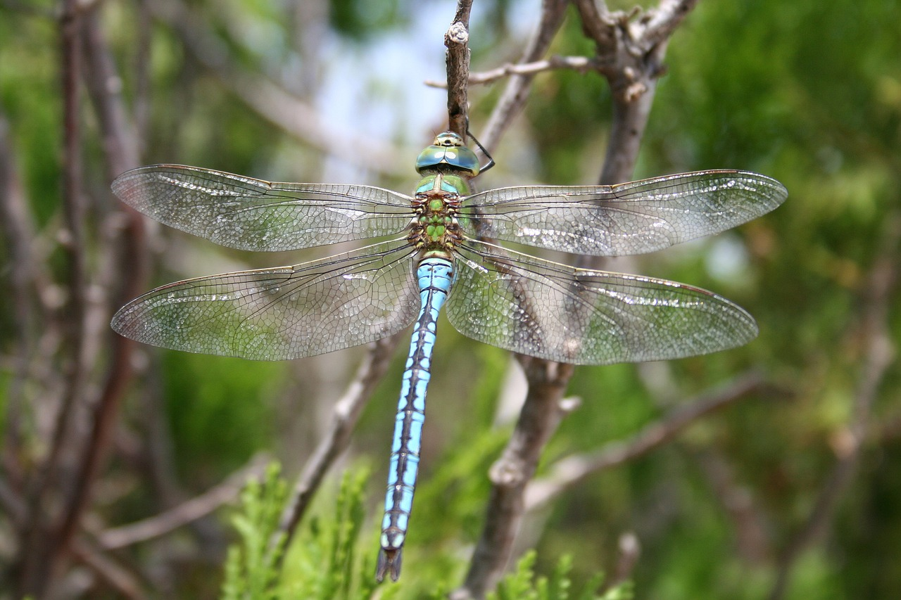dragonfly-1529481_1280