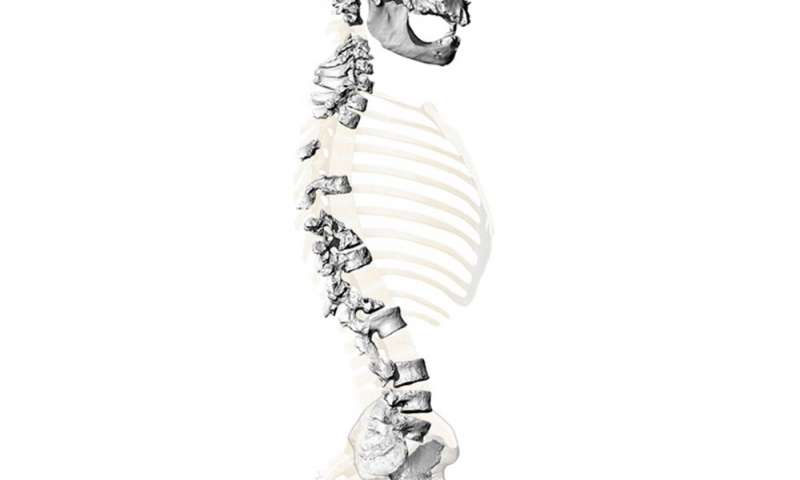 Virtual reconstruction of the skeleton found in La Chapelle-aux-Saints, based on high-resolution 3D surface scans of the spine and pelvis. (Credit: Martin Häusler, UZH)