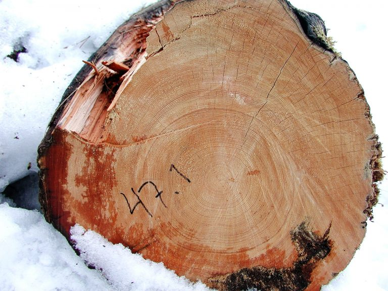 The preserved rings of a pine tree, which started growing in 1369 and fell into a cold lake in 1716, allow scientists to measure what the temperature was like in the summers of each year's growth. (Image: Professor Mary Gagen, Swansea University)