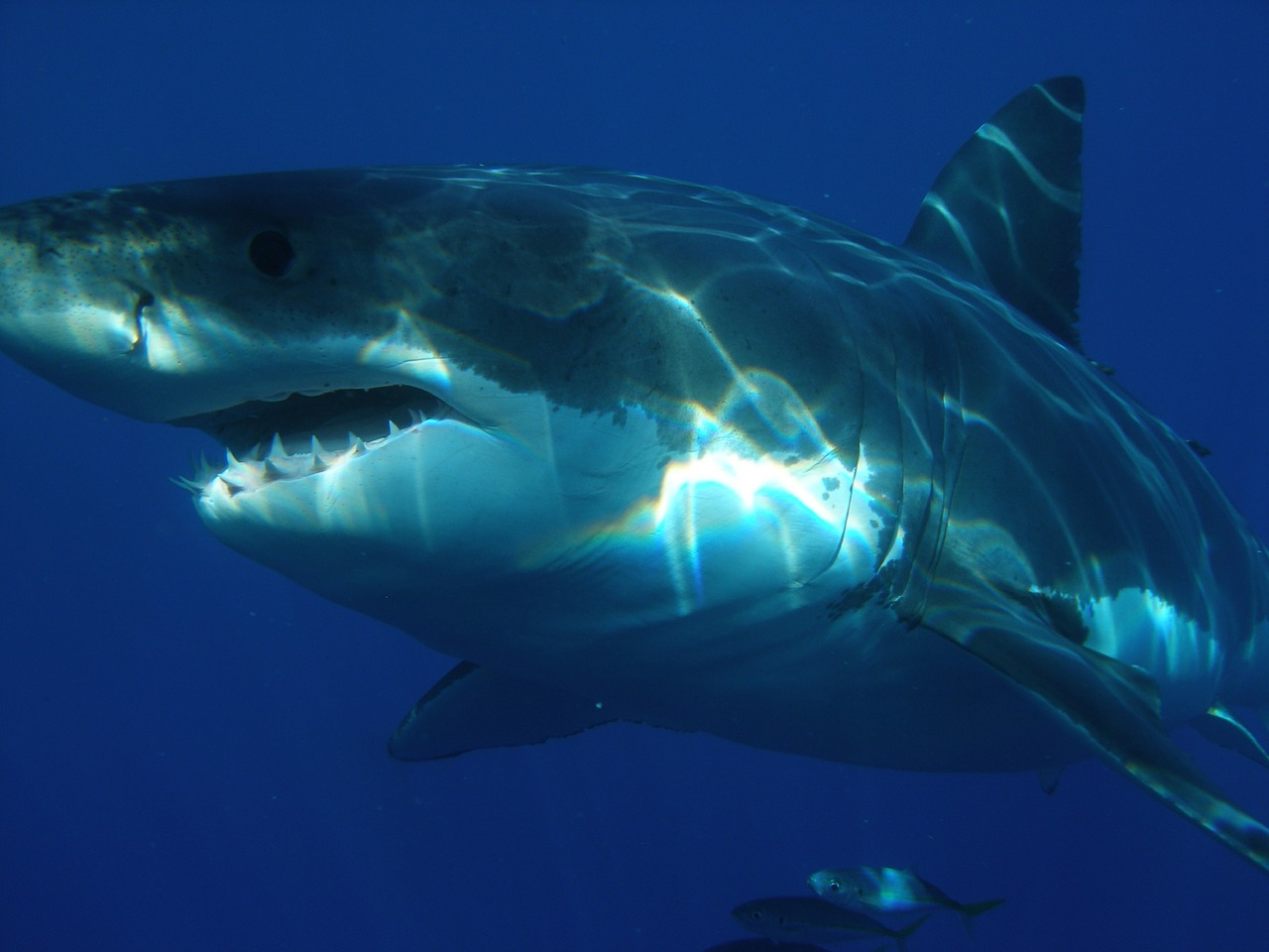 There are an estimated 500 species of sharks on the planet. (Image: pixabay / CC0 1.0)