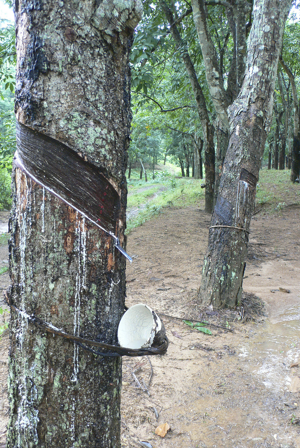 A rubber tree in a monoculture plantation in Hainan, China. (Image: Chris Colvin)