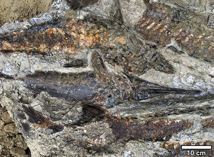 Fossilized fish piled one atop another, suggesting that they were flung ashore and died stranded together on a sand bar after the seiche withdrew. (Image: Courtesy of Robert DePalma)