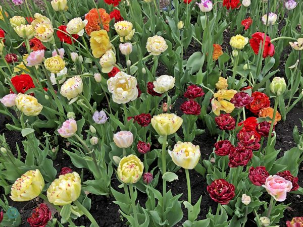 There are over 300,000 tulips in dozens of varieties displayed at Canadian Tulip Festival. (Image: Billy Shyu / Vision Times)