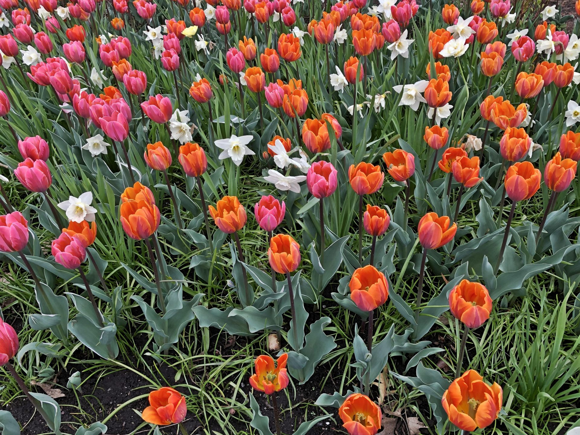 There are 300,000 tulips in full bloom, in over 80 different breeds displayed in 27 different gardens. (Image: Billy Shyu / Vision Times)