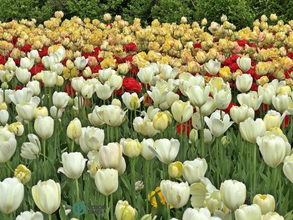 The Canadian Tulip Festival is an event of the Canadian Tulip Legacy. (Image: Billy Shyu / Vision Times)