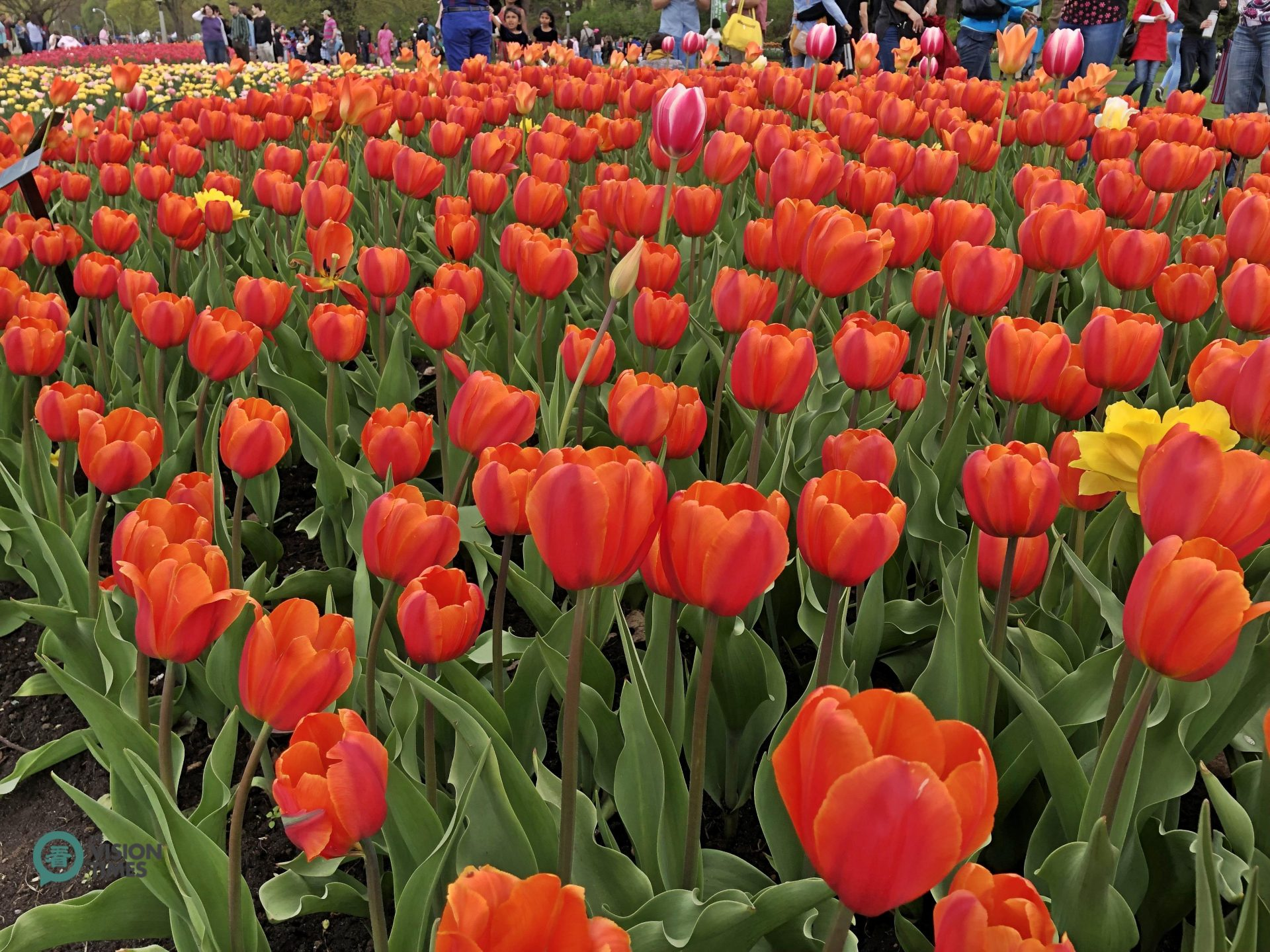 Visitors can appreciate millions of beautiful tulips in Canada's National Capital Region during this time of the year. (Image: Julia Fu / Vision Times)