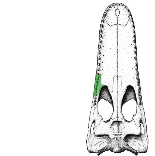 Diagram of a crocodile skull, shown from underneath, highlighting the location of the fossils known for Isisfordia molnari. Based on the skull of Isisfordia duncani. (Image: University of New England)