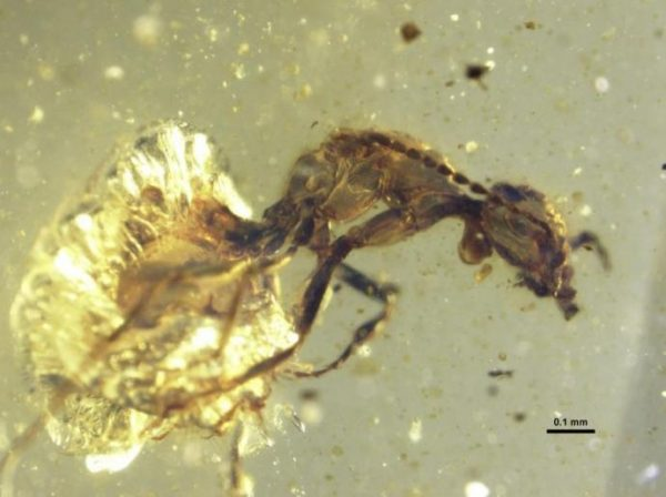 Lateral photomicrograph of Zigrasimecia tonsora entombed in 99 million-year-old amber. (Image: P. Barden & D.A. Grimaldi)