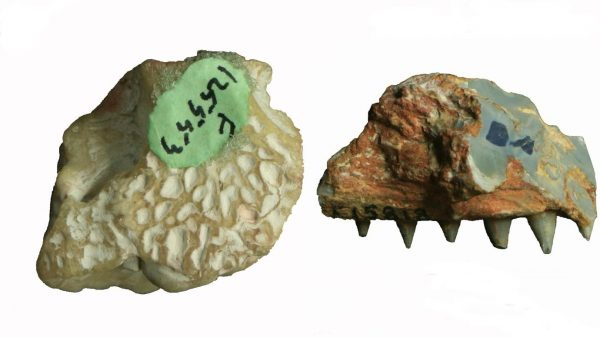 Photos of the partial braincase (top view) and jawbone of the new crocodile species, Isisfordia molnari, from Lightning Ridge, NSW. (Not to scale). (image: by Lachlan Hart)
