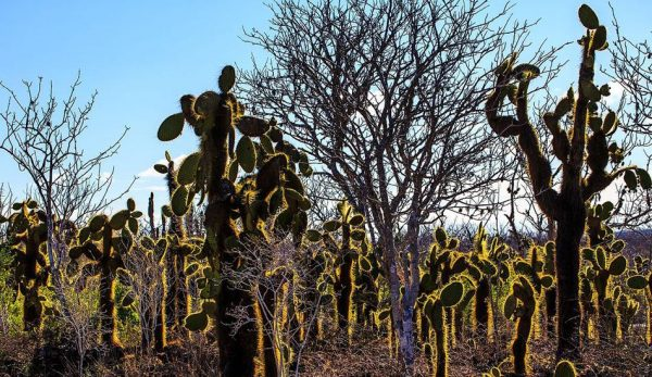 Cactus forests are greatly in danger from thieves. (Image: Wikimedia Commons)