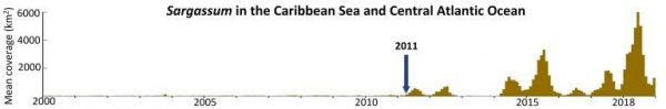 "This plot shows the dramatic change in Sargassum biomass since 2000. Note the start of a ""new normal"" in 2011, and a particularly bad year in 2018. (Image: USF College of Marine Science)"