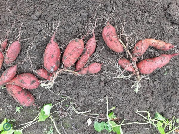 Jinshan boasts the best place to grow particularly fine sweet potatoes, (Image: Billy Shyu / Vision Times)