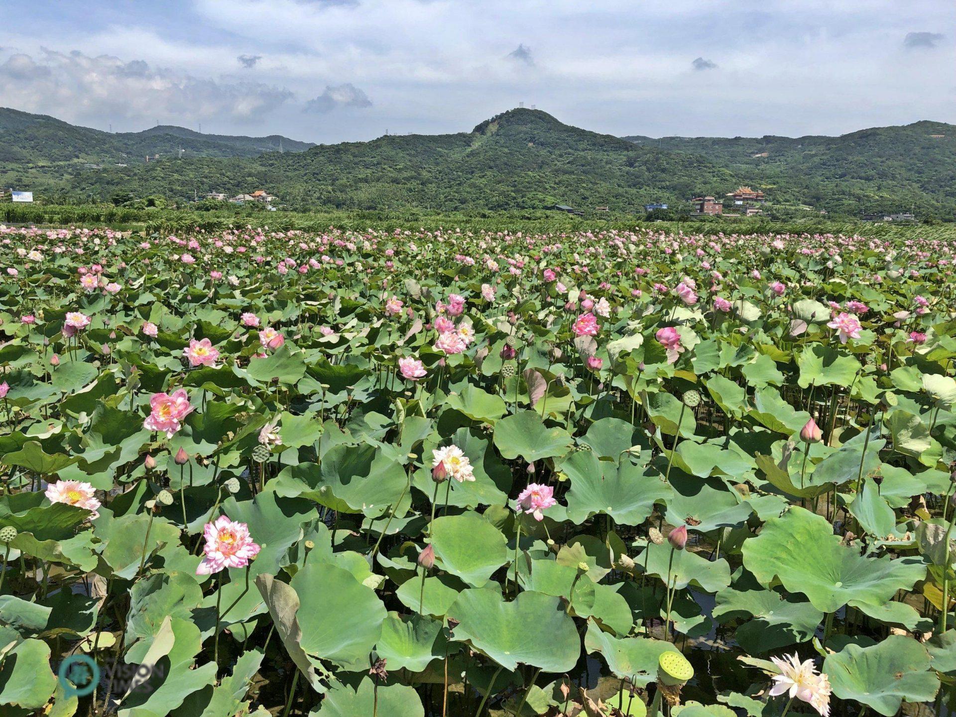 The lotus field in Jinshan District's Qingshui Wetland. (Image: Julia Fu / Vision Times)