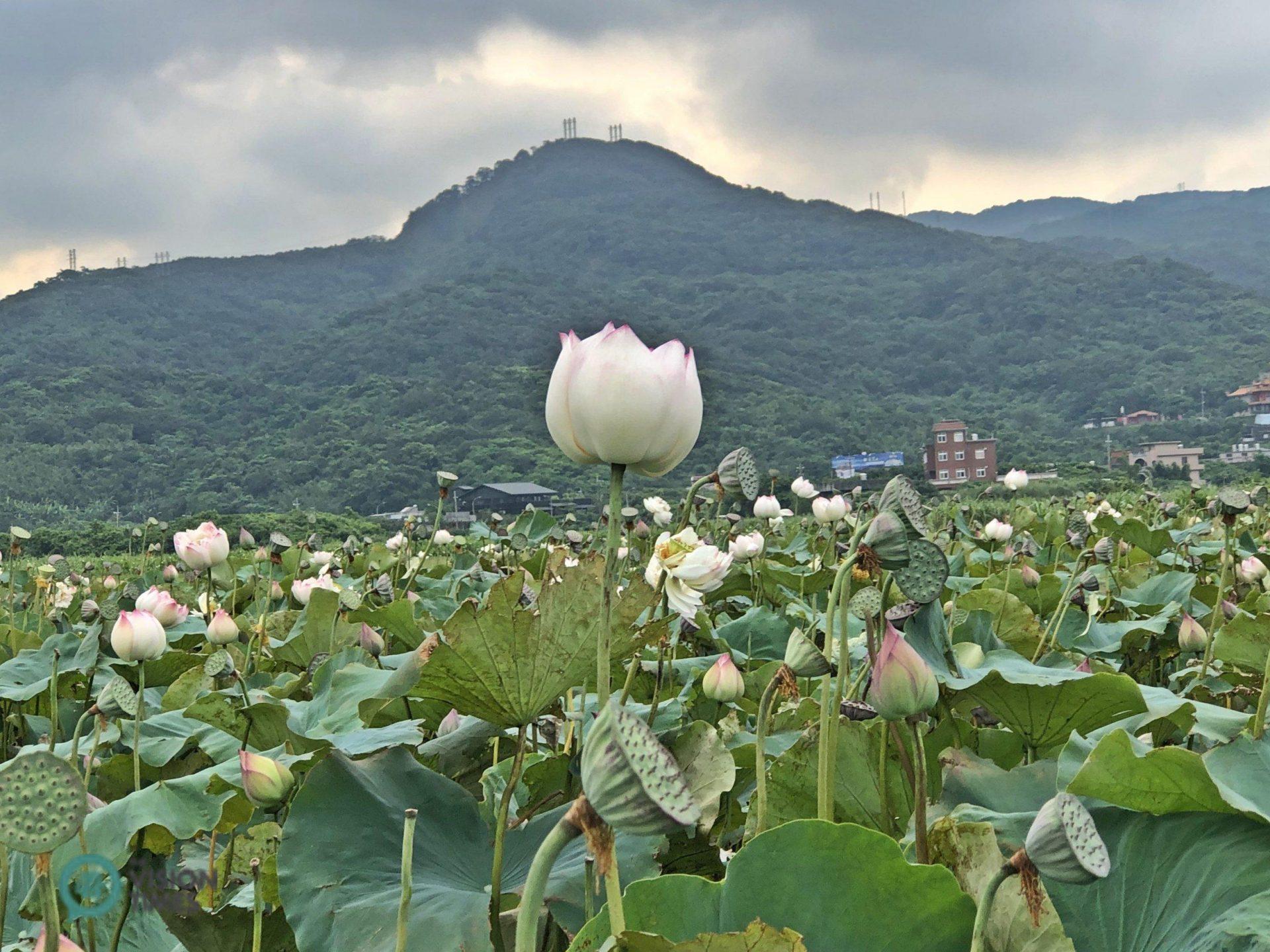 Peony lotus blooms in Qingshui Wetland in Jinshan ifrom June to September, (Image: Billy Shyu / Vision Times)