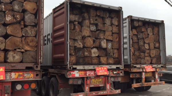 The steps Ghana has taken to curb the illegal trade of rosewood trees have not stopped China from illegally acquiring rosewood from the African nation. (Image: Screenshot / YouTube)