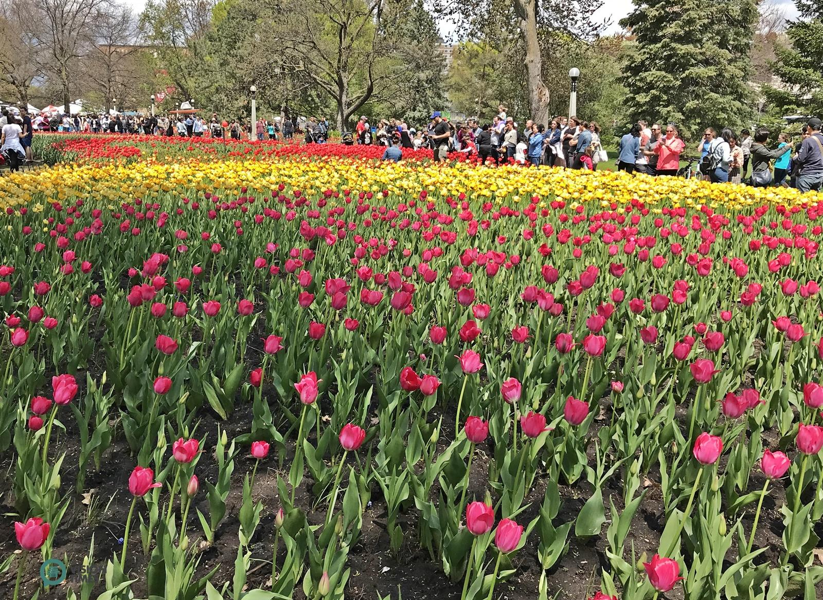 The Canadian Tulip Festival held at the Commissioners Park in May. (Image: Billy Shyu / Vision Times)