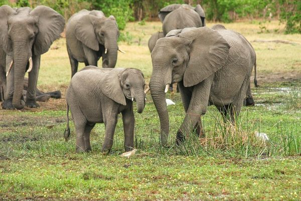 New regulations allow for the export of domesticated elephants. (Image via pixabay / CC0 1.0)
