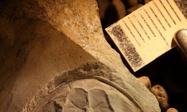 Tasmaniolimulus patersoni fossil. (Image: R Bicknell)