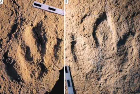 Photograph of the traces analyzed: Megalosauripus transjuranicus (A) and Jurabrontes transjuranicus (B). (Image: Matteo Belvedere et al)