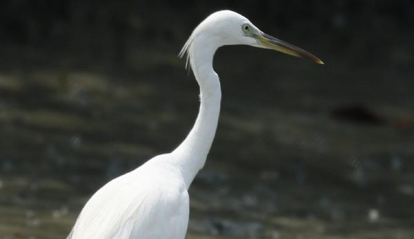 The Chinese Egret is a threatened bird species from East Asia. (Image: Tony Castro via wikimedia CC BY-SA 4.0)