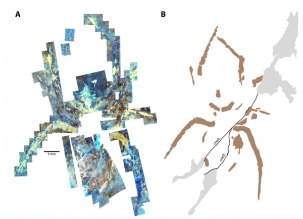 Image A shows a mosaic of parts of the specimen as seen under fluorescence microscopy: bright white shows areas of cement used to repair the specimen, bright blue shows the rock matrix, bright yellow marks areas painted with oil-based paint, and dull red is the fossil cuticle. (Image: Selden, et al)