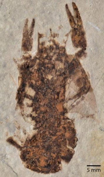 specimen of fossilized crayfish (Cricoidoscelosus aethus) from the Yixian Formation preserved in a similar manner to Mongolarachne chaoyangensiss. (Image: Selden, et al)