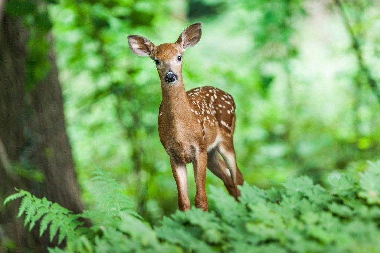 During the hunting trip, Meng Sun caught a lovely fawn alive. (Image: maxpixels / CC0 1.0)